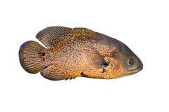τα ψάρια απομόνωσαν τροπικό Στοκ Φωτογραφία