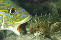 τα ψάρια δεν γαντζώνουν κα Στοκ Εικόνες