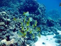 Τα ψάρια εδιάστισαν γκρινιάρη - κυνηγός ημέρας Ερυθρά Θάλασσα, κοραλλιογενής ύφαλος στοκ εικόνα