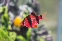 Τα ψάρια ενυδρείων Mahseer κλείνουν επάνω στοκ εικόνες με δικαίωμα ελεύθερης χρήσης