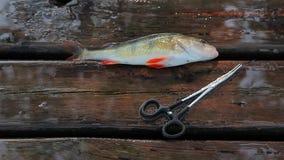 Τα ψάρια εσκαρφάλωσαν το φυσικό ξύλινο υπόβαθρο απόθεμα βίντεο