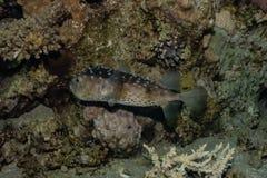 Τα ψάρια κολυμπούν στη Ερυθρά Θάλασσα στοκ εικόνα με δικαίωμα ελεύθερης χρήσης