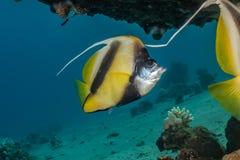 Τα ψάρια κολυμπούν στη Ερυθρά Θάλασσα στοκ φωτογραφία με δικαίωμα ελεύθερης χρήσης
