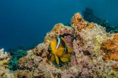Τα ψάρια κολυμπούν στη Ερυθρά Θάλασσα στοκ εικόνες