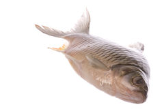 τα ψάρια κυπρίνων απομόνωσα Στοκ Εικόνα