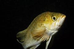 τα ψάρια λικνίζουν ροδο&epsilo στοκ εικόνες