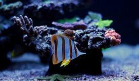 Τα ψάρια πεταλούδων Copperband κολυμπούν στη δεξαμενή ενυδρείων κοραλλιογενών υφάλων Στοκ Φωτογραφία