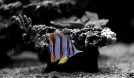 Τα ψάρια πεταλούδων Copperband κολυμπούν στη δεξαμενή ενυδρείων κοραλλιογενών υφάλων Στοκ φωτογραφίες με δικαίωμα ελεύθερης χρήσης