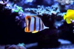 Τα ψάρια πεταλούδων Copperband κολυμπούν στη δεξαμενή ενυδρείων κοραλλιογενών υφάλων Στοκ Φωτογραφίες