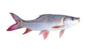 Τα ψάρια σε ένα άσπρο υπόβαθρο στοκ εικόνες με δικαίωμα ελεύθερης χρήσης