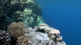 Τα ψάρια τρώνε το νεκρό diadema Echinothrix σκανταλιάρικων παιδιών Μαύρης Θάλασσας υποβρύχιο φιλμ μικρού μήκους
