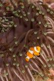 Τα ψάρια Clow Anemone Στοκ Φωτογραφίες