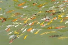 Τα ψάρια Koi κολυμπούν σε μια κατεύθυνση Στοκ Φωτογραφία