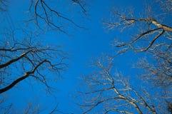 Τα ψηλά δέντρα διαδίδουν τους γυμνούς κλάδους τους Στοκ εικόνα με δικαίωμα ελεύθερης χρήσης