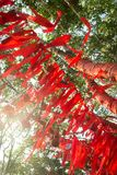 Τα ψηλά δέντρα είναι εντελώς διακοσμημένα με τις κόκκινες κορδέλλες πολλές κόκκινες κορδέλλες που δένονται στα δέντρα Ασία Στοκ Εικόνα