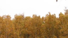 Τα ψηλά δέντρα με τα κίτρινα φύλλα ταλαντεύονται στον αέρα απόθεμα βίντεο