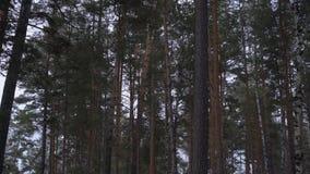 Τα ψηλά δέντρα πεύκων ταλαντεύονται αργά στον αέρα στο δασικό πανόραμα απόθεμα βίντεο