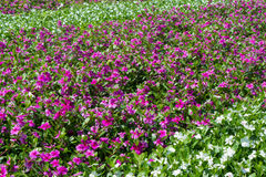Τα λωρίδες των άσπρων και πορφυρών λουλουδιών roseus catharanthus μέσα Στοκ Φωτογραφία