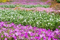 Τα λωρίδες των άσπρων, ρόδινων και πορφυρών λουλουδιών roseus catharanthus μέσα Στοκ φωτογραφία με δικαίωμα ελεύθερης χρήσης