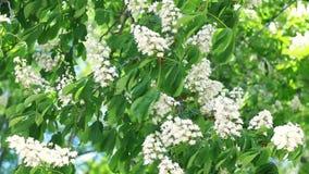 Τα όμορφα άσπρα κάστανα αναπτύσσονται στον αέρα φιλμ μικρού μήκους