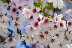 Τα όμορφα άσπρα και ρόδινα λουλούδια κερασιών άνθισαν σε ένα δέντρο τη στοκ εικόνες με δικαίωμα ελεύθερης χρήσης