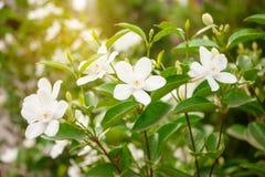 Τα όμορφα άσπρα πέταλα Snowflake είναι ανθίζοντας στα πράσινα φύλλα κάτω από το πορτοκαλί πρωί φωτός του ήλιου στοκ φωτογραφίες με δικαίωμα ελεύθερης χρήσης