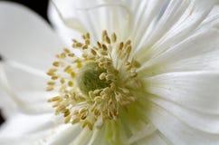Τα όμορφα άσπρα anemones, κλείνουν επάνω, μακροεντολή, λουλούδια άνοιξη Στοκ Εικόνα