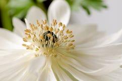 Τα όμορφα άσπρα anemones, κλείνουν επάνω, μακροεντολή, λουλούδια άνοιξη Στοκ Εικόνες