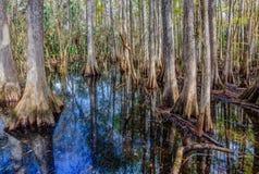 Τα όμορφα δέντρα κυπαρισσιών απεικονίζουν στο νερό του Everglades Στοκ Εικόνα