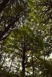Τα όμορφα δέντρα του αδύτου άγριας φύσης Binsar κάλυψαν ολόκληρο τον ουρανό Στοκ Εικόνα