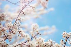 Τα όμορφα ανθίζοντας δέντρα της Apple καλλιεργούν την άνοιξη κλείστε επάνω Στοκ Εικόνες