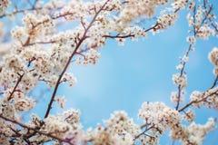 Τα όμορφα ανθίζοντας δέντρα της Apple καλλιεργούν την άνοιξη κλείστε επάνω Στοκ φωτογραφία με δικαίωμα ελεύθερης χρήσης