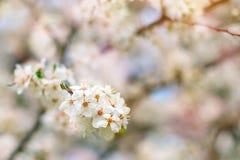 Τα όμορφα ανθίζοντας δέντρα της Apple καλλιεργούν την άνοιξη κλείστε επάνω Στοκ φωτογραφίες με δικαίωμα ελεύθερης χρήσης