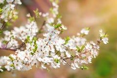 Τα όμορφα ανθίζοντας δέντρα της Apple καλλιεργούν την άνοιξη κλείστε επάνω Στοκ Εικόνα
