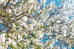 Τα όμορφα ανθίζοντας δέντρα της Apple καλλιεργούν την άνοιξη κλείστε επάνω Στοκ εικόνα με δικαίωμα ελεύθερης χρήσης