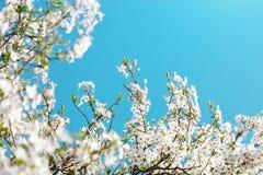 Τα όμορφα ανθίζοντας δέντρα της Apple καλλιεργούν την άνοιξη κλείστε επάνω Στοκ Φωτογραφία