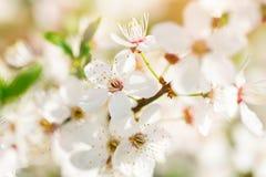 Τα όμορφα ανθίζοντας δέντρα της Apple καλλιεργούν την άνοιξη κλείστε επάνω Στοκ εικόνες με δικαίωμα ελεύθερης χρήσης