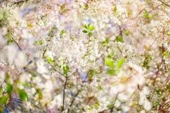 Τα όμορφα ανθίζοντας δέντρα της Apple καλλιεργούν την άνοιξη κλείστε επάνω Στοκ Φωτογραφίες