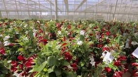 Τα όμορφα ανθίζοντας λουλούδια σε ένα σύγχρονο θερμοκήπιο, ανάπτυξη ανθίζουν σε μια βιομηχανική κλίμακα, σύγχρονο θερμοκήπιο απόθεμα βίντεο