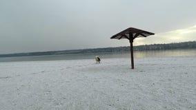 Τα όμορφα γεροδεμένα τρεξίματα φυλής σκυλιών mamalut κατά μήκος της ακτής κάλυψαν με το χιόνι σε σε αργή κίνηση φιλμ μικρού μήκους