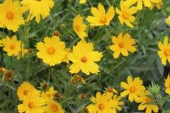 Τα όμορφα κίτρινα λουλούδια με τα οδοντωτά πέταλα άνθισαν την άνοιξη Στοκ Εικόνα