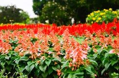 Τα όμορφα κόκκινα λουλούδια στον κήπο στοκ εικόνες