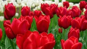 Τα όμορφα κόκκινα λουλούδια τουλιπών καλλιεργούν την άνοιξη στοκ εικόνα