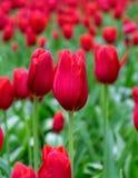 Τα όμορφα κόκκινα λουλούδια τουλιπών καλλιεργούν την άνοιξη στοκ φωτογραφία