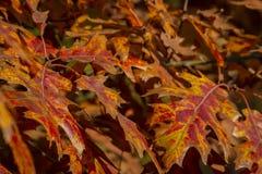 Τα όμορφα κόκκινα Quercus έλους φθινοπώρου δρύινα palustris φεύγουν Εκλεκτική εστίαση στοκ φωτογραφία με δικαίωμα ελεύθερης χρήσης