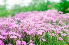 Τα όμορφα λουλούδια άνοιξη αυξήθηκαν Pinks κοριτσιών αυξανόμενος στον κήπο μια ηλιόλουστη ημέρα, υπόβαθρο για το σχέδιο, φυσική τ στοκ φωτογραφία με δικαίωμα ελεύθερης χρήσης