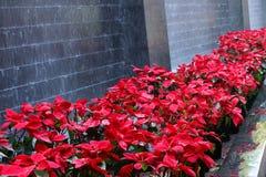 Τα όμορφα λουλούδια Χριστουγέννων ποτίζουν πλησίον τις πτώσεις στοκ φωτογραφία