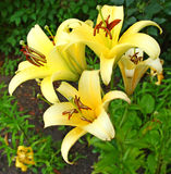 Τα όμορφα λουλούδια κρίνων βλαστάνουν κοντά επάνω Στοκ φωτογραφία με δικαίωμα ελεύθερης χρήσης