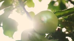 Τα όμορφα μήλα ωριμάζουν σε έναν κλάδο στις ακτίνες του ήλιου Γεωργική επιχείρηση πράσινο δέντρο μήλων οργανικός απόθεμα βίντεο