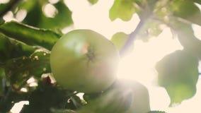 Τα όμορφα μήλα ωριμάζουν σε έναν κλάδο στις ακτίνες του ήλιου E γεωργική επιχείρηση Πράσινα μήλα στο δέντρο φιλμ μικρού μήκους